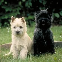 Cairn Terrier Photo Gallery...
