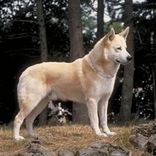 Canaan Dog Photos