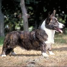Cardigan Welsh Corgi Photos