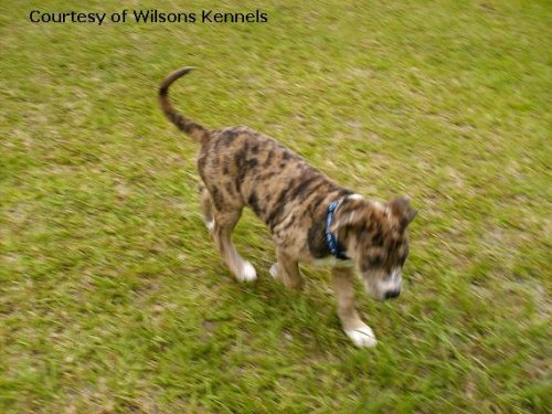 Catahoula Bulldog pictures...