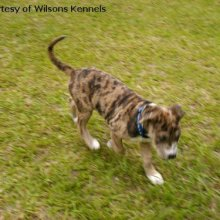 Catahoula Bulldog Photos