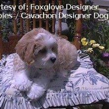 PuppyFind | Cavachon Puppies for Sale