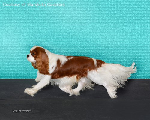 Cavalier King Charles Spaniel pictures...