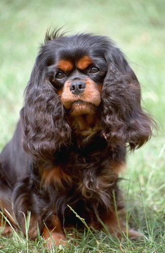 Brown Cavalier King Charles Spaniel Breed Dog