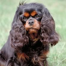 Cavalier King Charles Spaniel Photo Gallery...