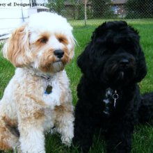 Cavapoo Photos