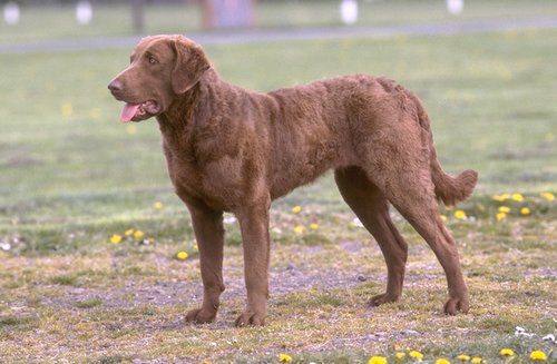 Chesapeake Bay Retriever pictures...