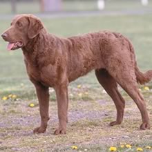 Chesapeake Bay Retriever Photos