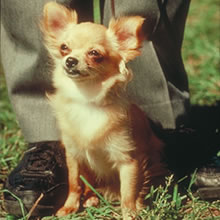 Puppyfind Long Hair Chihuahua Puppies For Sale