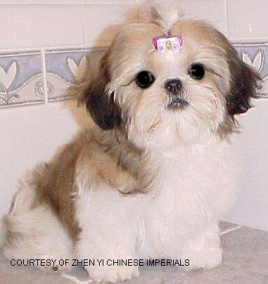 Chinese Imperial Dog Breeder