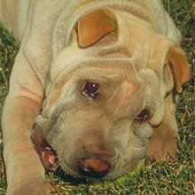 Chinese Shar-Pei Photos