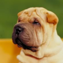 Sharpei Photos