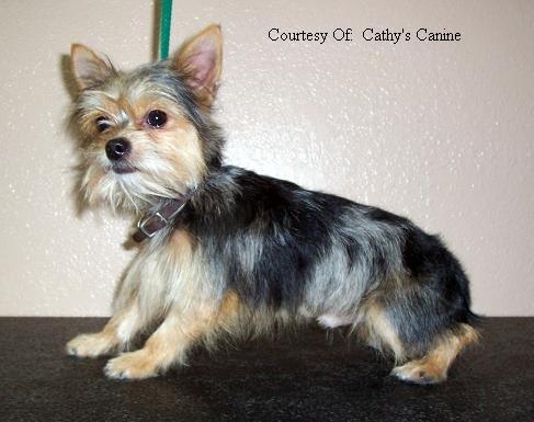 Chorkie Dog Breeds
