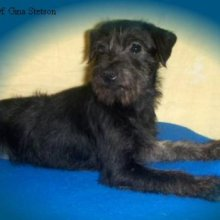 PuppyFind | Chorkie Puppies for Sale