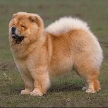 Puppyfind Chow Chow Puppies For Sale