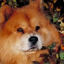 Puppyfind Chow Chow Puppies For Sale