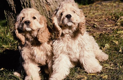 Cocker Spaniel pictures...