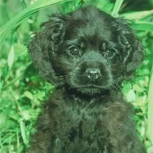 American Cocker Spaniel Photos
