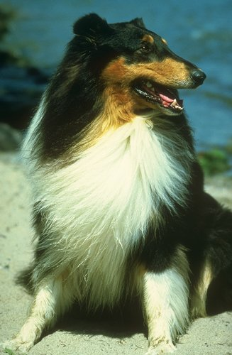 Collie pictures...