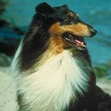 Collie Photos