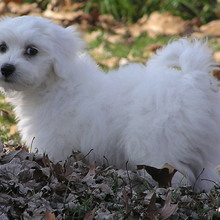 Coton De Tulear Photos
