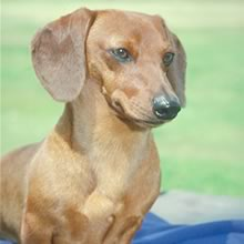 Weiner Dog Photos