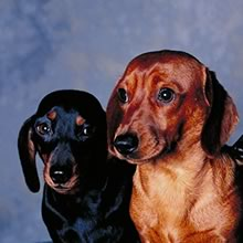 Dachound Photos