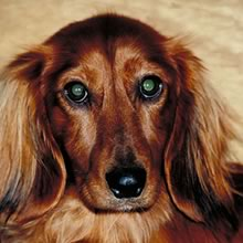 Dachshund Photos