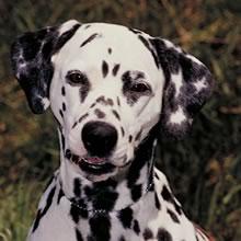 Dalmatian Dog Name Origin