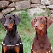 ... profile doberman pinscher pictures doberman pinscher puppies for sale