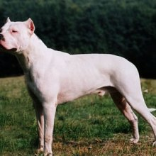 PuppyFind | Dogo Argentino Puppies for Sale