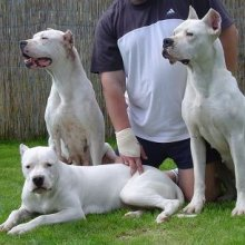 Dogo Argentino Photos
