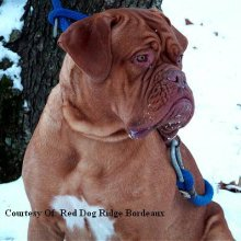 Dogue De Bordeaux Photos