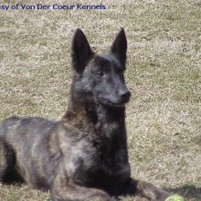 Dutch Shepherd Photos