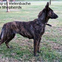 dutch shepherd adoption