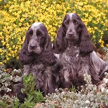 English Cocker Spaniel Photos
