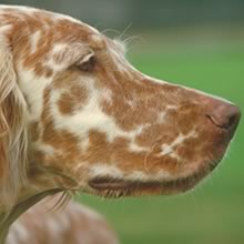 English Setter Photos