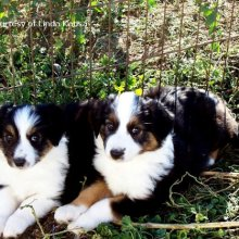 English Shepherd Photos