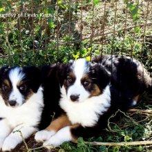 Puppyfind English Shepherd Puppies For Sale