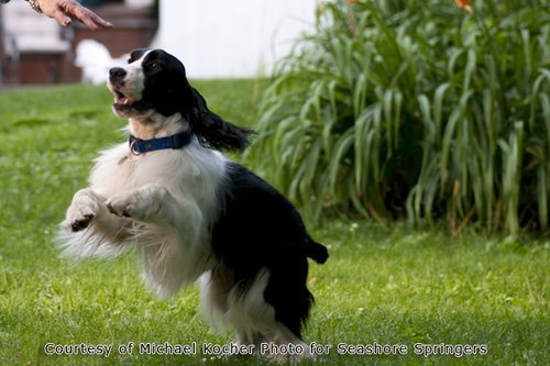 English Springer Spaniel pictures...