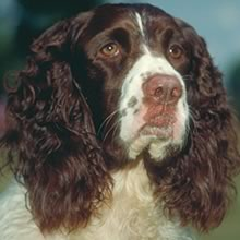 English Springer Spaniel Photo Gallery...