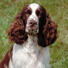 Puppyfind Find The Perfect English Springer Spaniel In Athens