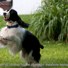 English Springer Spaniel Photos