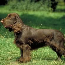 Field Spaniel Photos