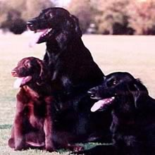 Flat-Coated Retriever Photos