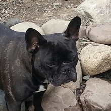 French Bulldog Photos