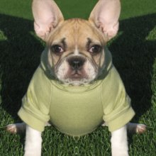 French Bulldog Photo Gallery...
