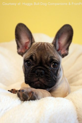 Frenchie Pug Pictures