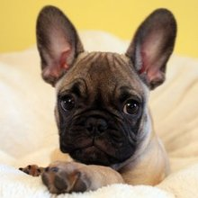 PuppyFind | Frenchie Pug Puppies for Sale
