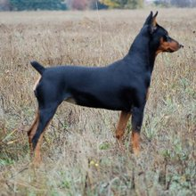 German Pinscher Photos